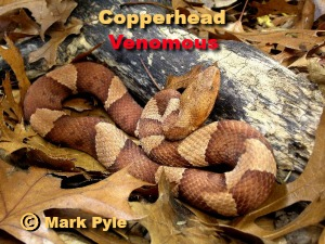 venomous copperhead