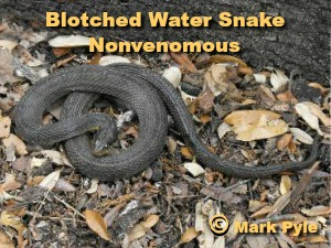 nonvenomous Blotched Watersnake