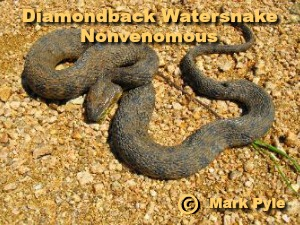 nonvenomous Diamondback Watersnake