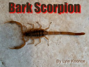 Striped Bark Scorpion of Texas