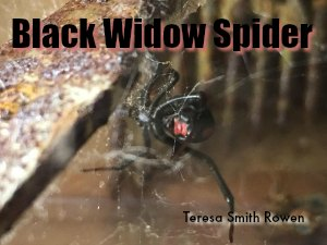 Black Widow Spider in Texas