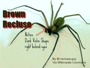 Texas brown recluse