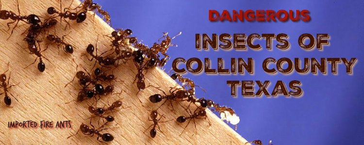 imported fire ants in Collin County Texas