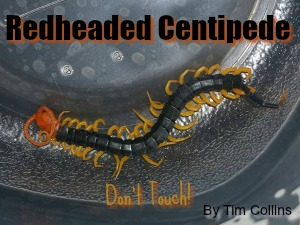 Redheaded Centipede in Texas