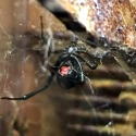 Black Widow Spider in Collin County
