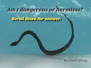 plain bellied water snake in swimming pool