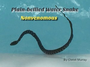 nonvenomous plain bellied water snake in swimming pool