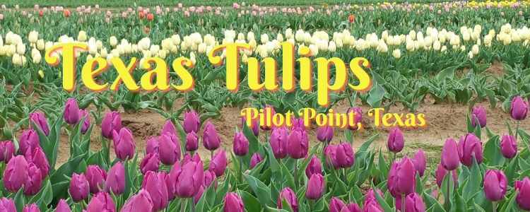 Texas Tulips, Pilot Point TX