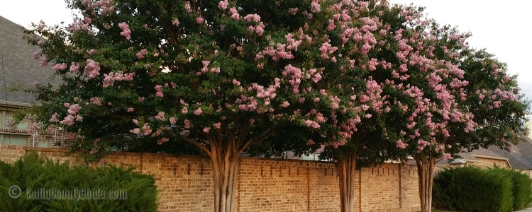 crape myrtles in Collin County, TX