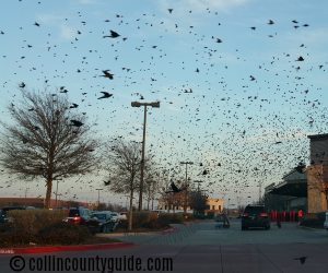 blackbirds in Frisco, TX